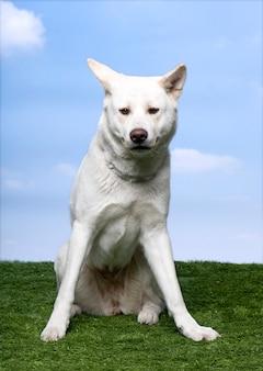 Akita inu (18 monate alt) sitzt auf gras gegen blauen himmel