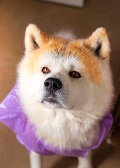 Akita inu hund, nass vom regen, mit einem wasserdichten müllsack