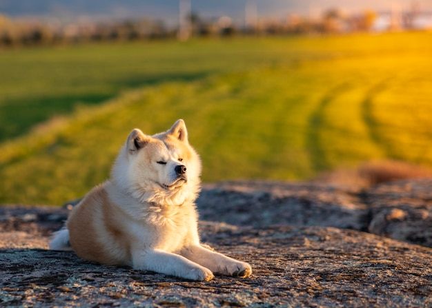Akita inu hund sitzt auf einem stein. grüner weizenfeldhintergrund. sonnenuntergang. bei sonnenuntergang