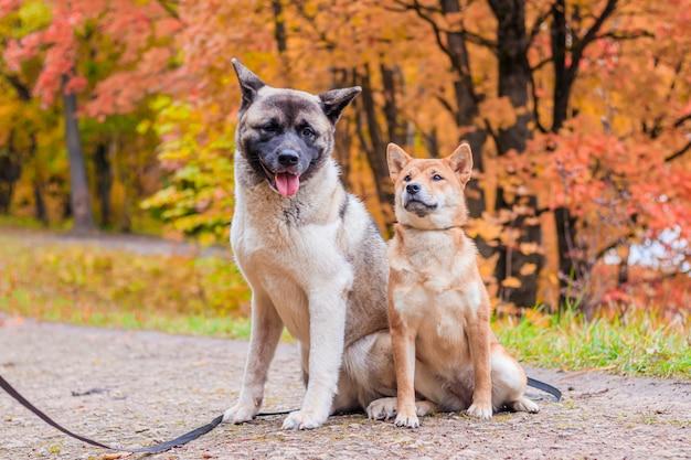 Akita und shiba machen einen spaziergang im park. zwei hunde spazieren. herbst