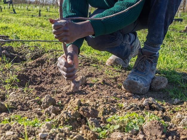 Aktion des vergleichens der erde mit den händen beim pflanzen eines obstbaums. landwirtschaftskonzept.
