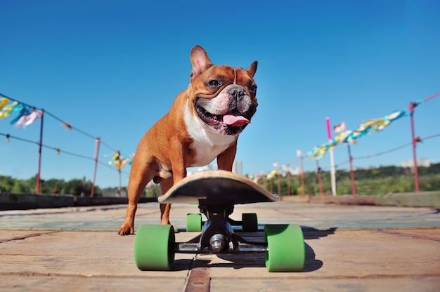 Aktive braune französische bulldogge, die das longboard entlang der brücke reitet