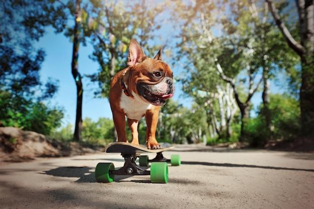 Aktive französische bulldogge, die in den park eisläuft
