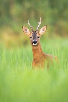 Alarm rogenhirschbock, der in die kamera von der vorderansicht auf einer wiese im sommer schaut.