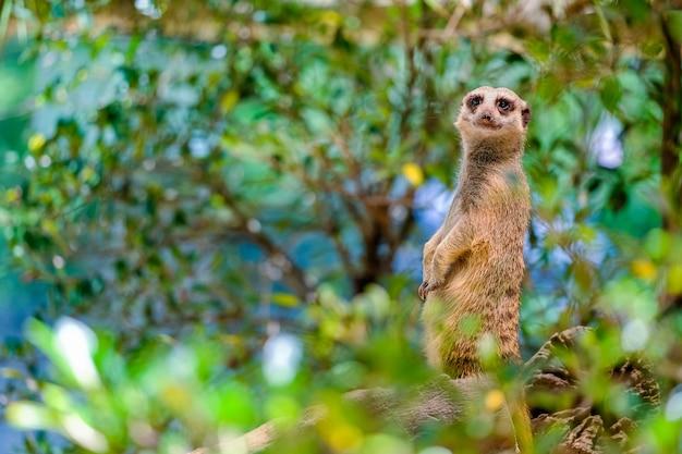 Alarm suricate oder erdmännchen