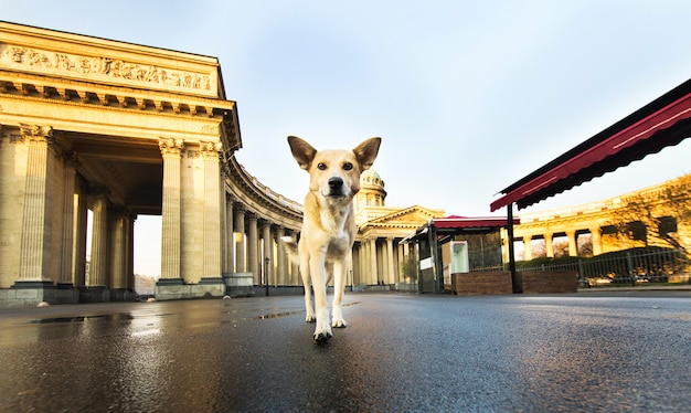 Alarmieren sie einen erwachsenen schäferhund, der bei sonnenaufgang auf dem platz steht und die kamera ansieht