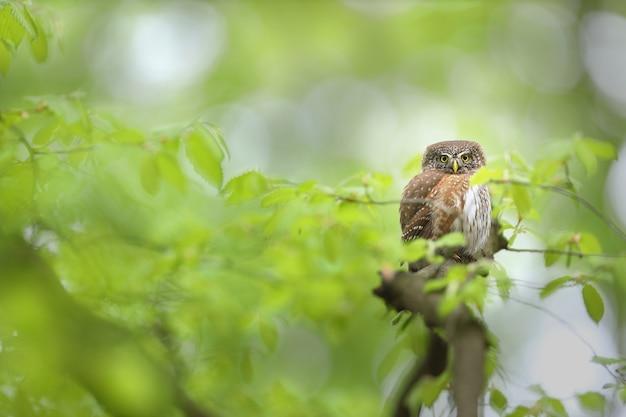 Alarmieren sie eurasische zwerg-eule, die kamera in sommerwald schaut