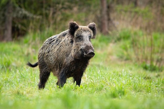 Alarmieren sie männliches wildschwein, das im frühling heftig auf einer wiese steht.