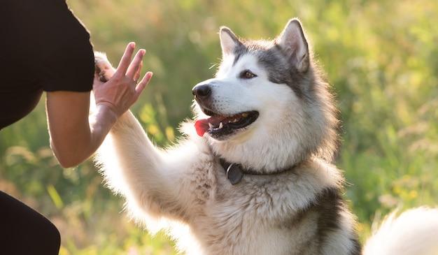 Alaskan malamute gibt pfote trick mit frau auf sonniger natur