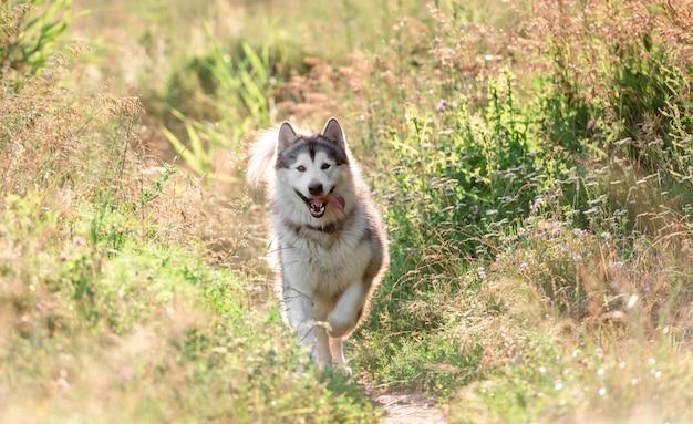 Alaskan malamute läuft auf sonnigem feld