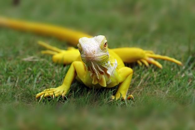 Albino leguane im gras