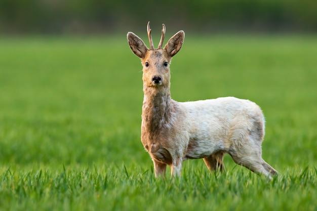 Albino reh, capreolus capreolus, bock, der in die kamera starrt und im grünen gras auf einem feld steht. wilder hirsch mit weißem fell, der auf wiese in der frühlingsnatur schaut.