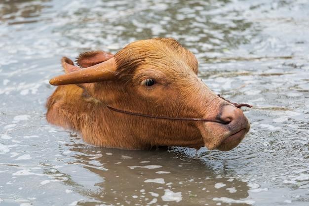 Albino wasserbüffel spielt und schwimmt im teich
