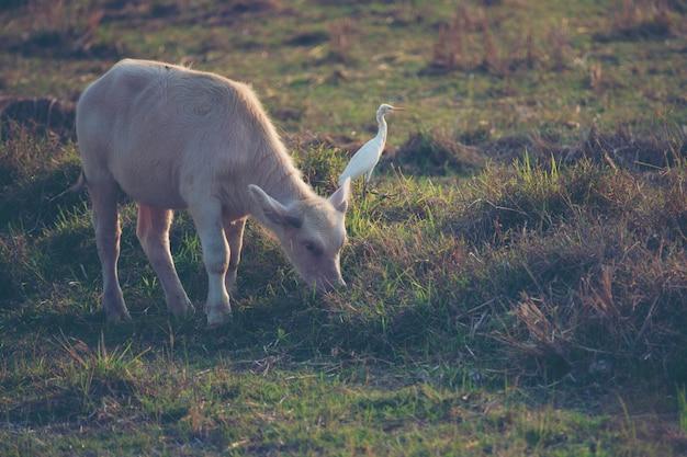 Albinobüffel, asiatischer wasserbüffel im reisfeld