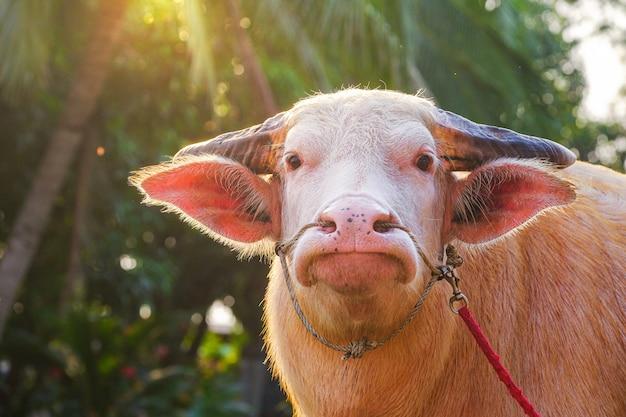 Albinobüffel und sonnenschein am abend in der thailändischen landschaft
