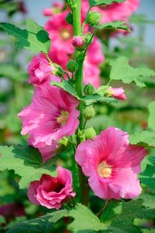 Alcea rosea, zierpflanze aus der familie der malvaceae.