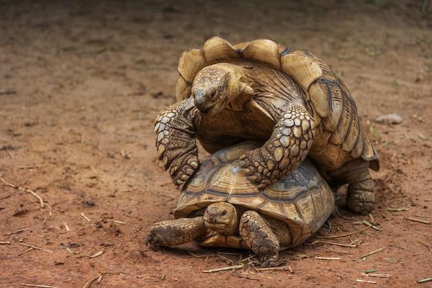 Aldabra-riesenschildkröte (aldabrachelys gigantea) paarung im garten