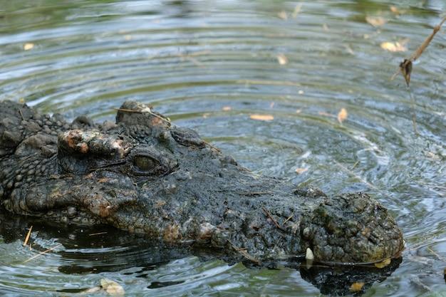 Aligator crocodile im moosigen sumpf.