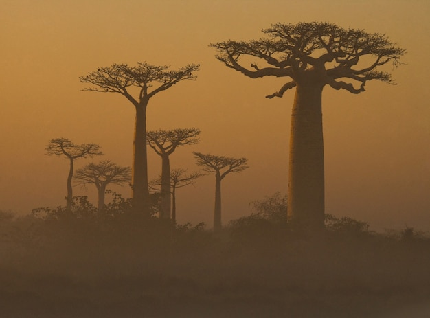 Allee der affenbrotbäume im morgengrauen im nebel in madagaskar