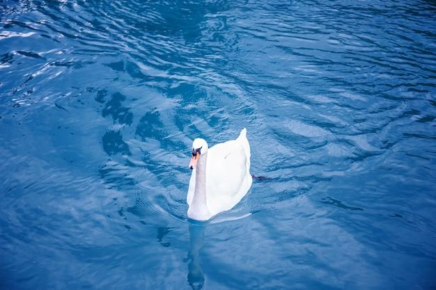 Allein weißer schwan, der auf blauem seewasser schwimmt