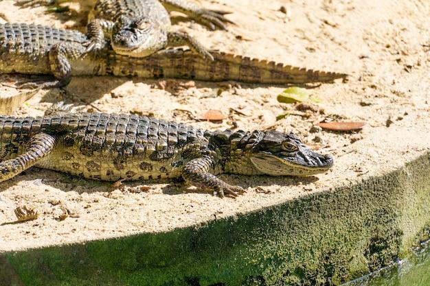 Alligator jacare do papo amarelo im park in rio de janeiro, brasilien.