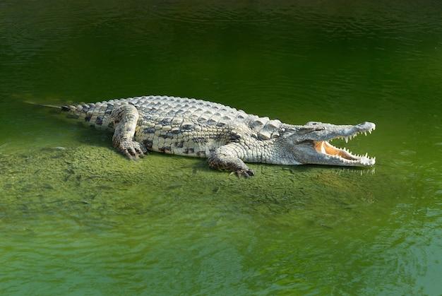 Alligator mississipiensis weit geöffneter mund