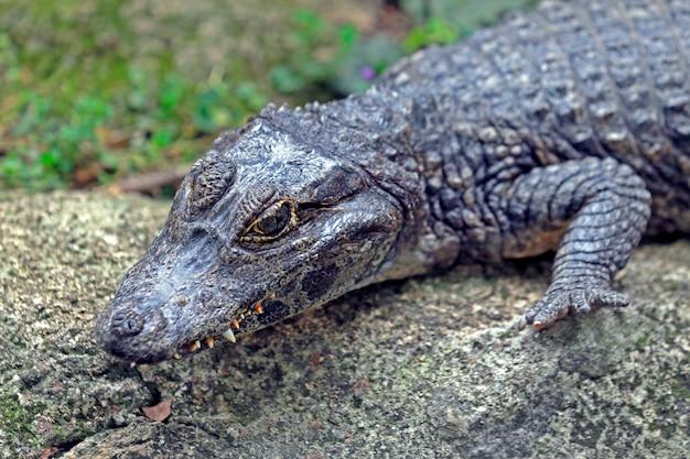 Alligator oder jacare in portugiesisch