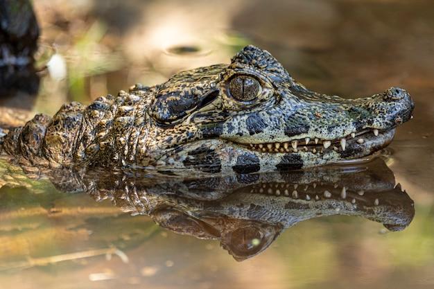 Alligator sonnenbaden auf dem gras.