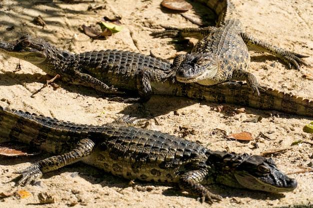 Alligatorwelpen (jacarãƒâƒã'â© do papo amarelo) im park von rio de janeiro, brasilien.