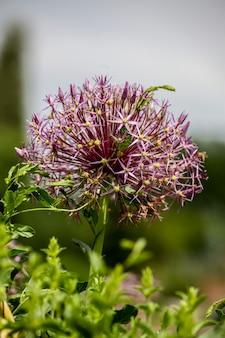 Allium christophii (stern von persien)