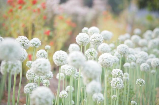 Allium schalotten zwiebel knoblauch schnittlauch frühlingszwiebel lauch blume wächst im feldgarten