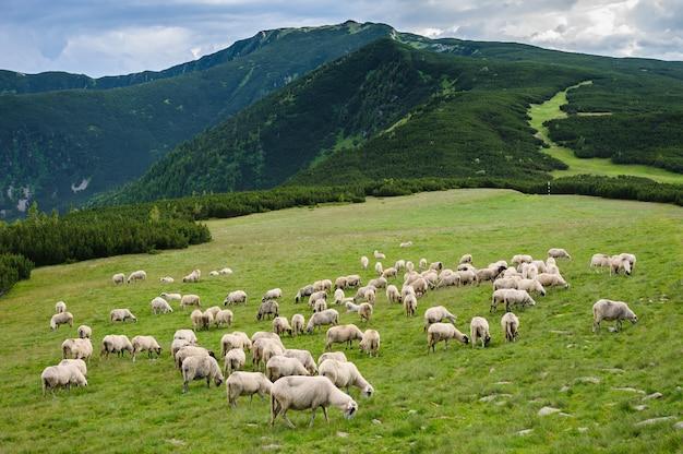 Almen im retezat-nationalpark, karpaten, rumänien.