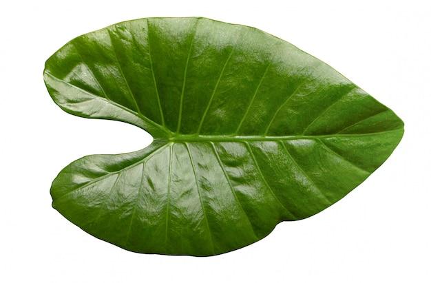 Alocasia macrorrhizos, alocasia odora, schönes grünes blatt der zimmerpflanzen, element für design oder dekoration.