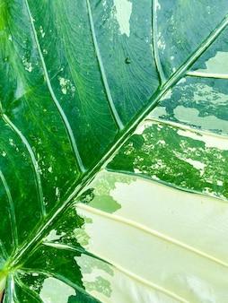 Alocasia odora variegata als hintergrundtextur