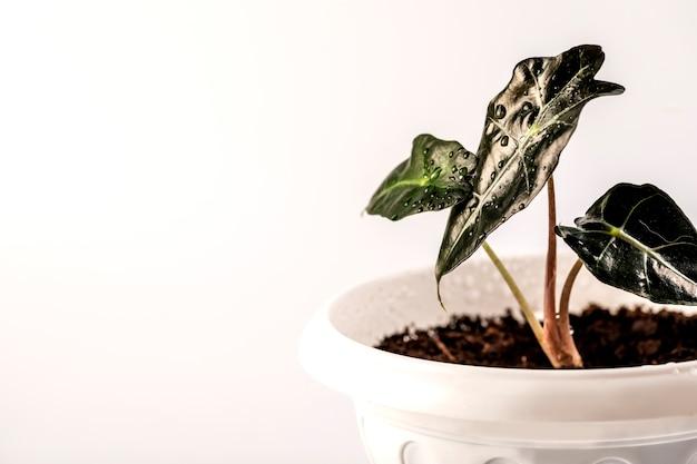 Alocasia-pflanze in einem blumentopf lokalisiert auf weiß