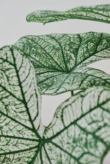 Alocassia polly pflanze auf hellgrauem hintergrund