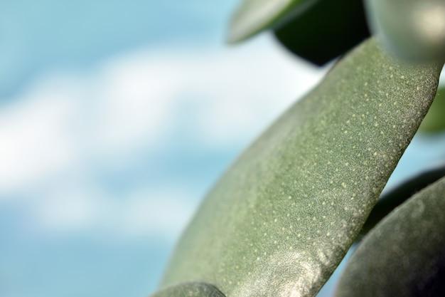 Aloe-blätter auf blauem hintergrund