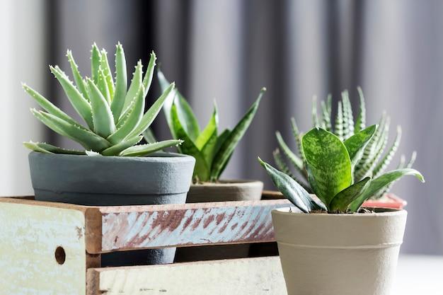 Aloe brevifolia saftig und schlangenpflanze im wohnzimmer