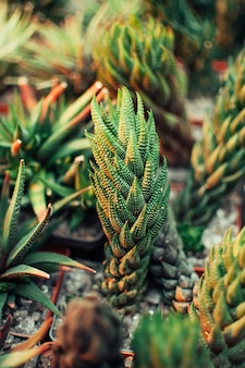 Aloe ostifolia ist eine saftige krautige pflanze, eine art der aloe-gattung der familie der asphodelaceae.