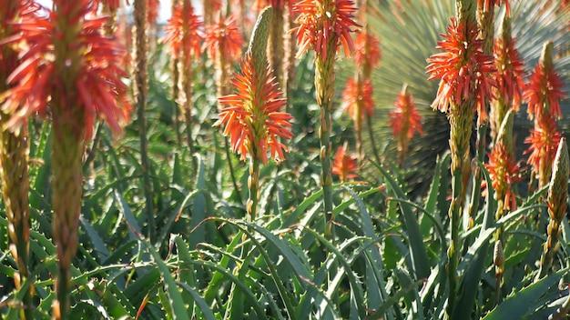 Aloe sukkulente rote blume, kalifornien usa. wüstenflora, trockenes klima natürliche botanische nahaufnahme hintergrund. lebendige saftige blüte von aloe vera. gärtnern in amerika, wächst mit kaktus und agave
