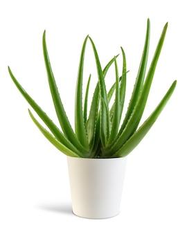 Aloe vera-anlage mit dem weißen topf lokalisiert