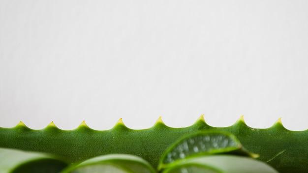 Aloe vera blätter zur schönheitsbehandlung
