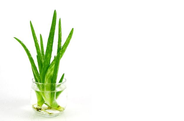 Aloe vera blätter.