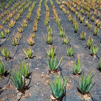 Aloe vera felder in lanzarote orzola auf den kanarischen inseln
