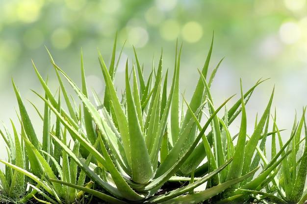 Aloe vera, frisches blatt der aloe vera im natürlichen hintergrund des bauernhofgartens