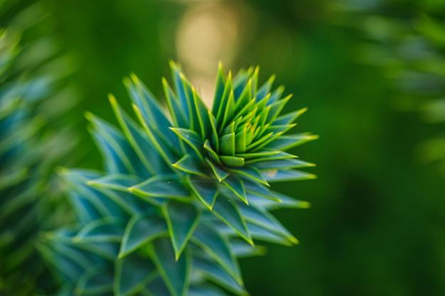 Aloe vera isolat auf bokeh hintergrund. makro detailliertes bildbaumblatt.