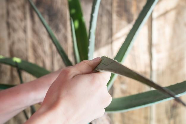 Aloe vera mit lappen reinigen