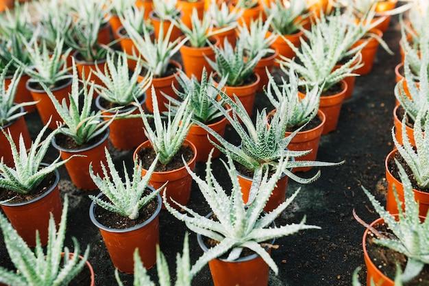 Aloe vera-pflanze, die in braune töpfe wächst