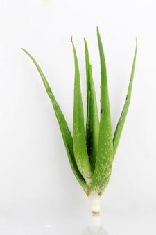 Aloe vera pflanze, die viele vorteile für die gesundheit hat