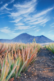 Aloe vera plantage auf fuerteventura